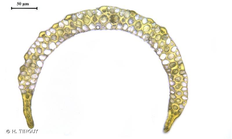 Paraleucobryum longifolium