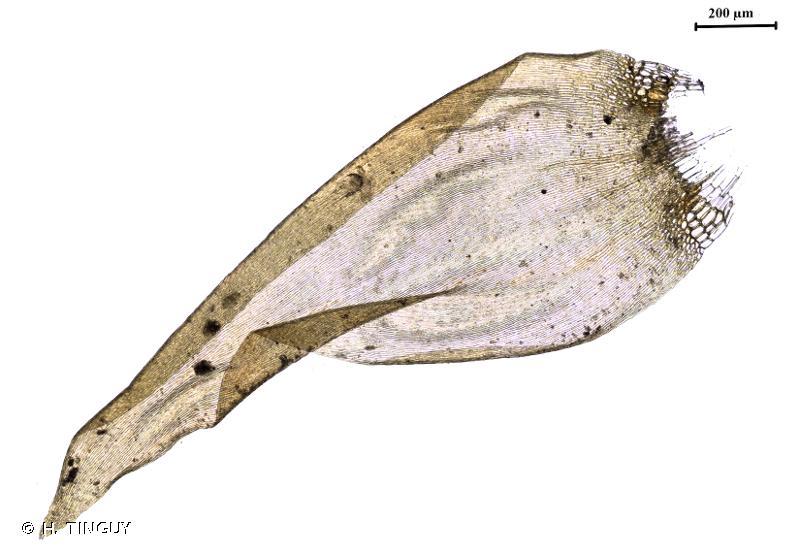 Calliergonella lindbergii