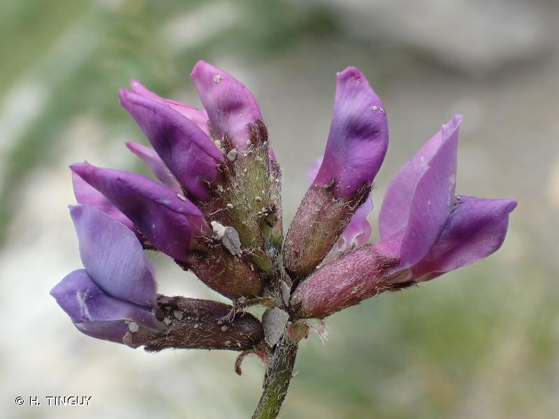 Oxytropis jacquinii