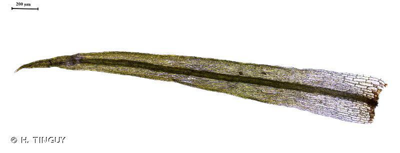Orthodontium lineare