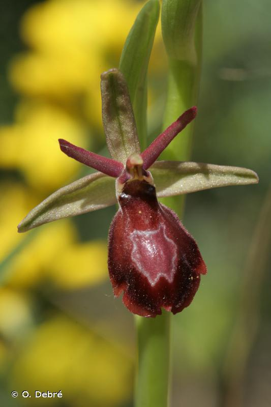 Ophrys x royanensis