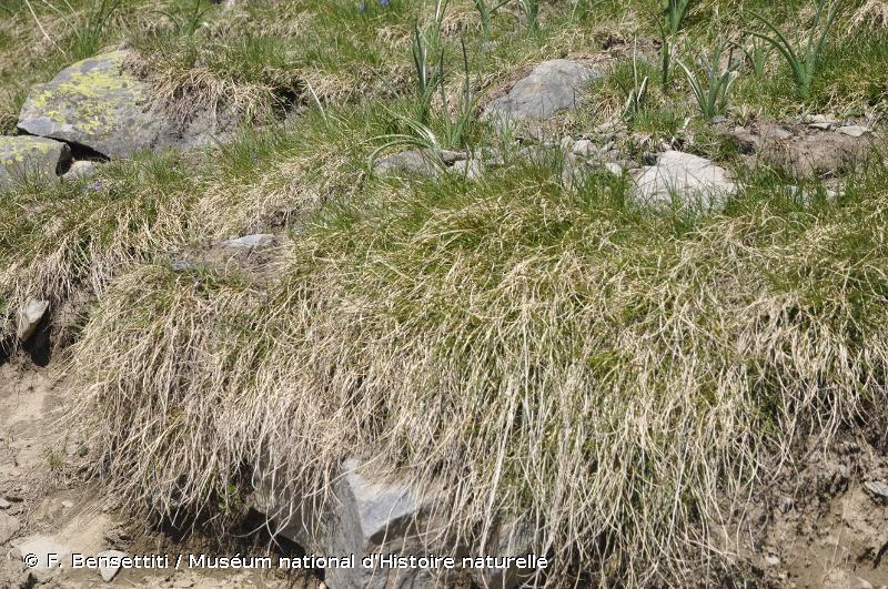 6140 - Pelouses pyrénéennes siliceuses à <em>Festuca eskia</em> - Habitats d'intérêt communautaire