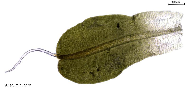 Syntrichia virescens