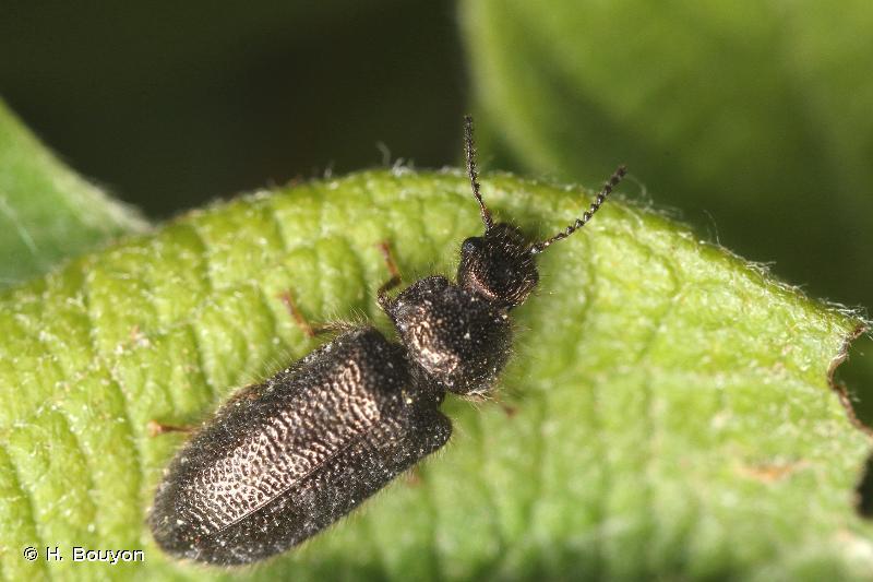 Aplocnemus impressus