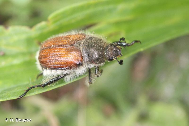 Anisoplia villosa