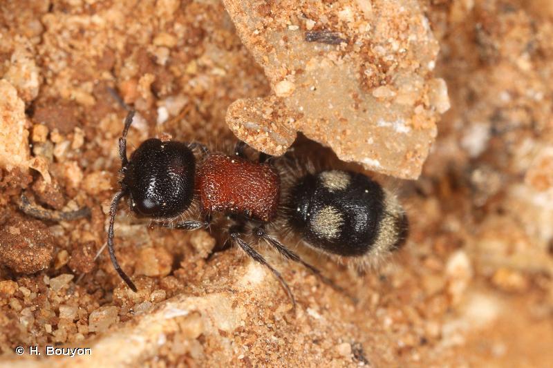 Blakeius bipunctatus