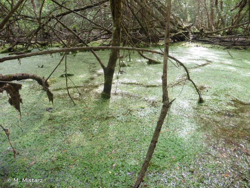 3150 - Lacs eutrophes naturels avec végétation du <em>Magnopotamion</em> ou de l'<em>Hydrocharition</em> - Cahiers d'habitats
