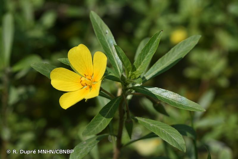 Ludwigia grandiflora subsp. hexapetala