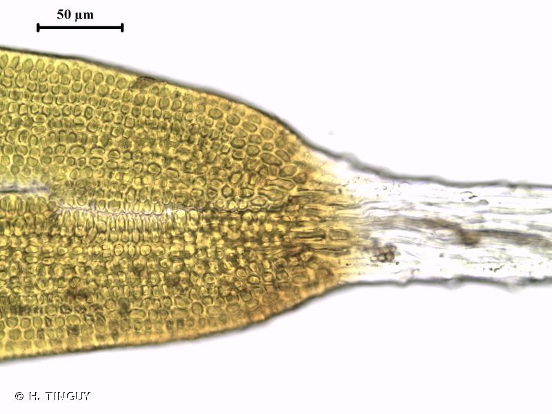 Grimmia ovalis