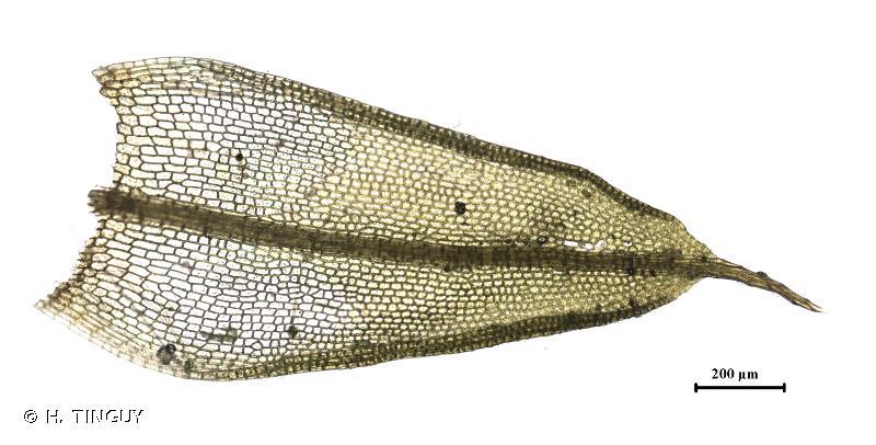 Tortula protobryoides