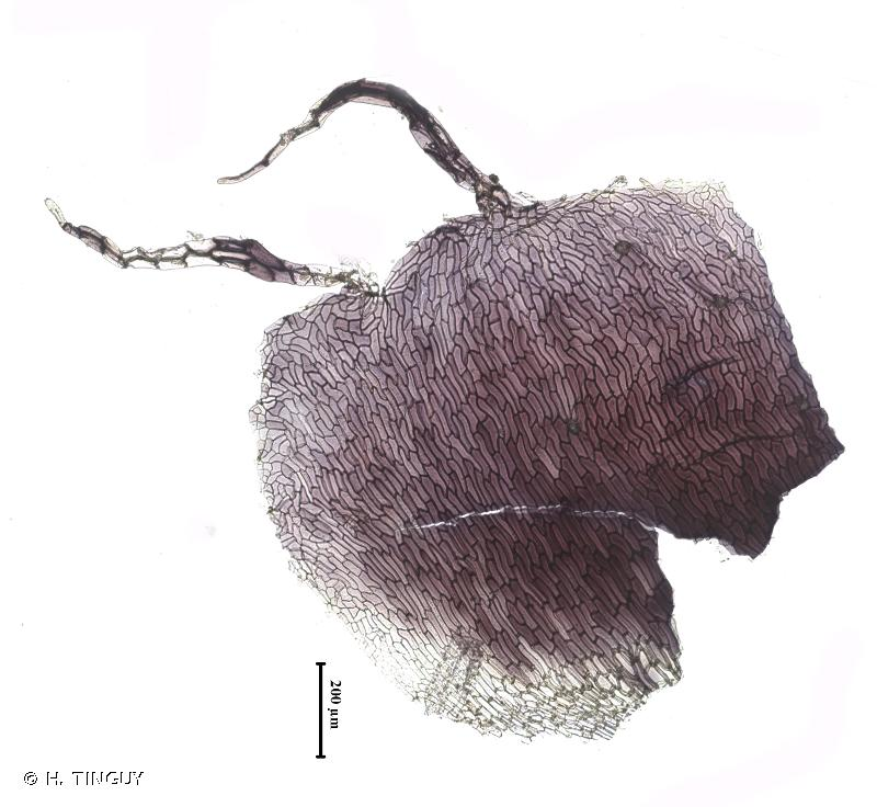 Reboulia hemisphaerica