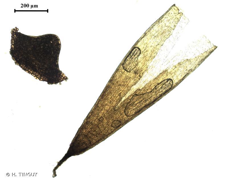 Amphidium lapponicum