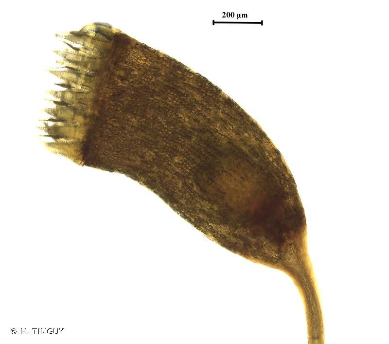 Sematophyllum substrumulosum