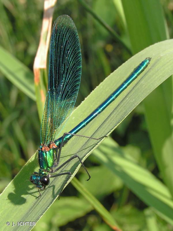 Calopteryx splendens splendens