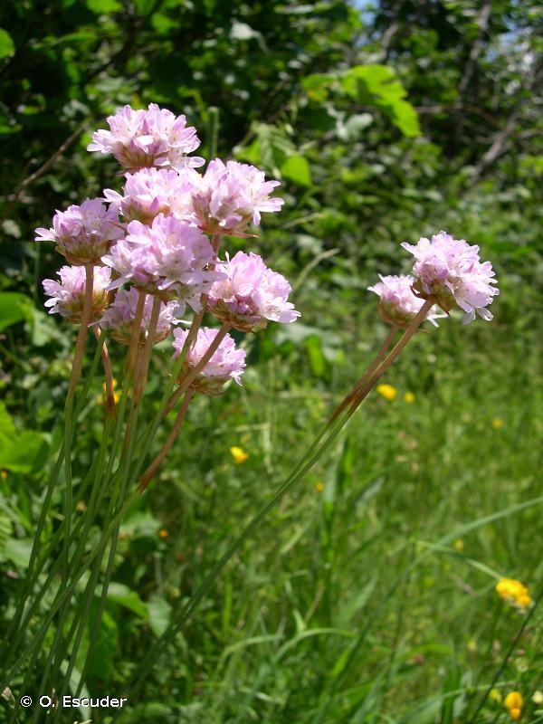 Armeria arenaria subsp. arenaria