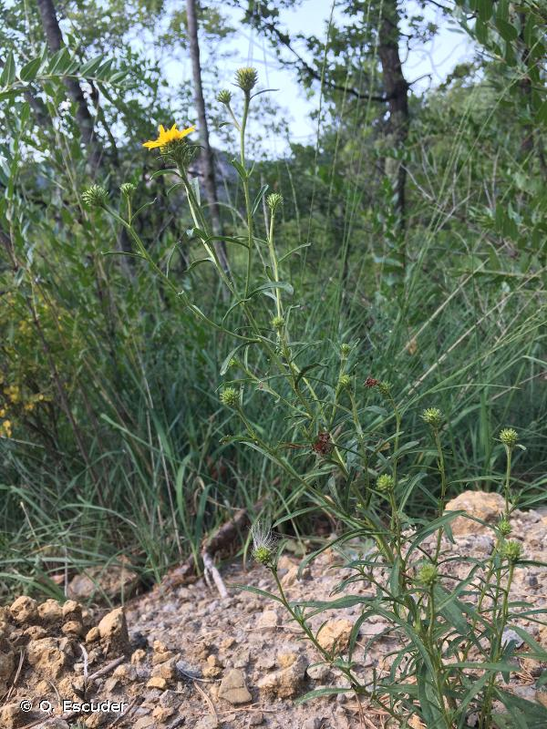 Jasonia tuberosa