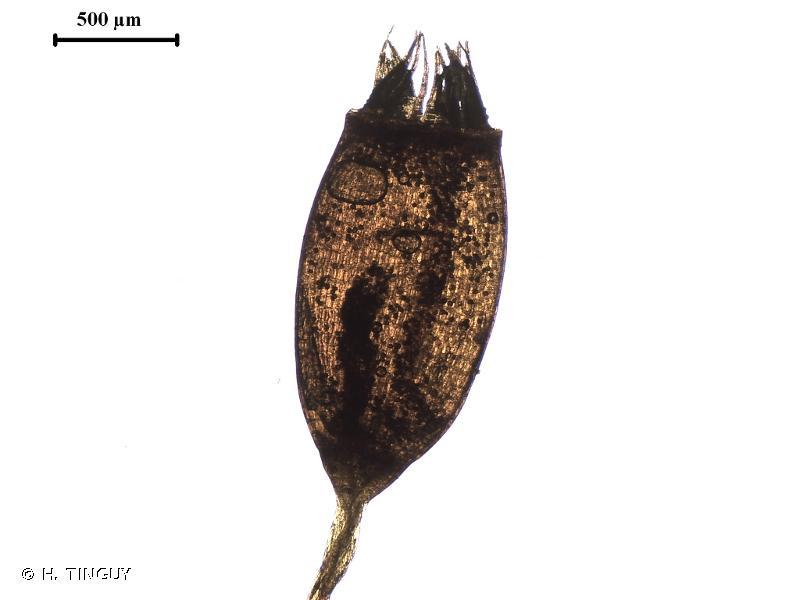 Tortula lindbergii