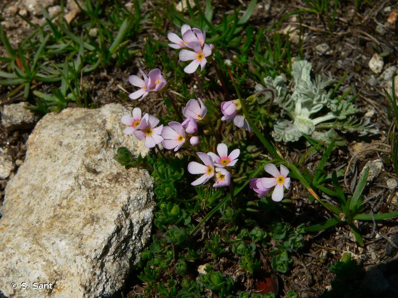 Androsace adfinis subsp. puberula