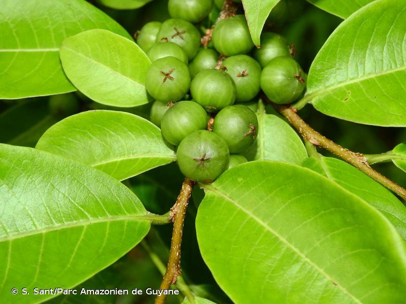 Margaritaria nobilis