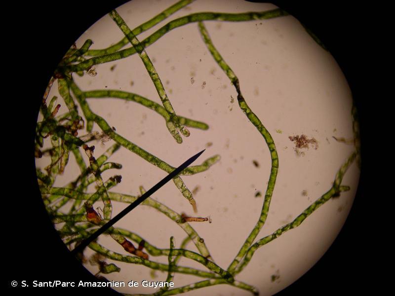 Vandenboschia speciosa