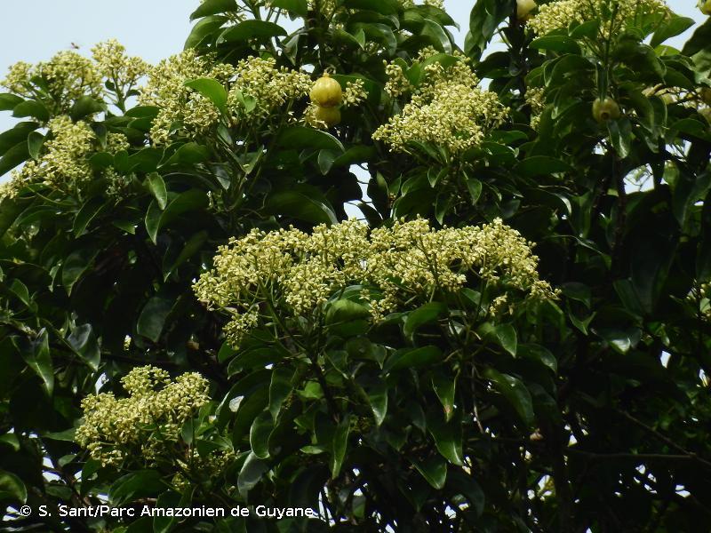 Hernandia guianensis