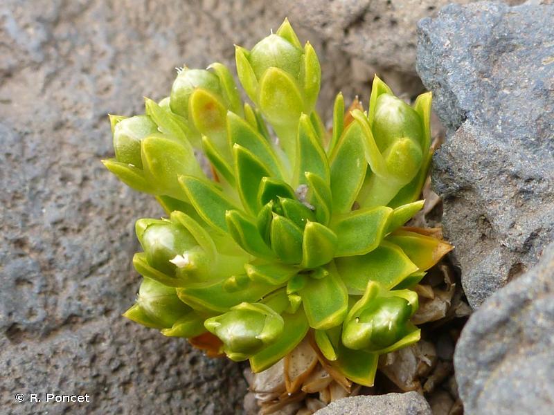 Colobanthus kerguelensis