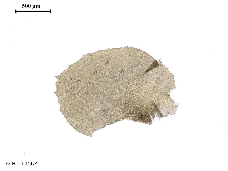 Scapania gracilis