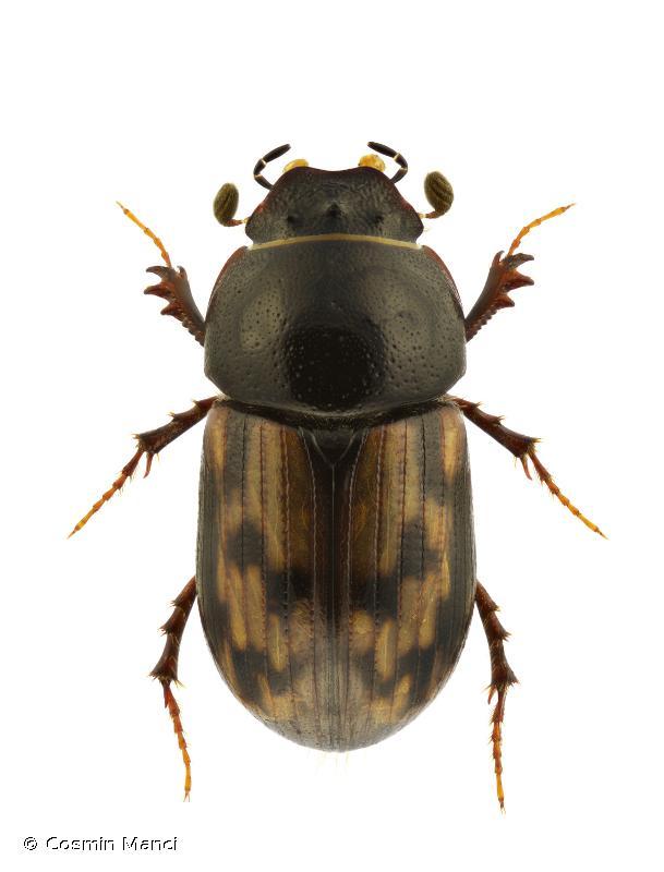 Chilothorax paykulli