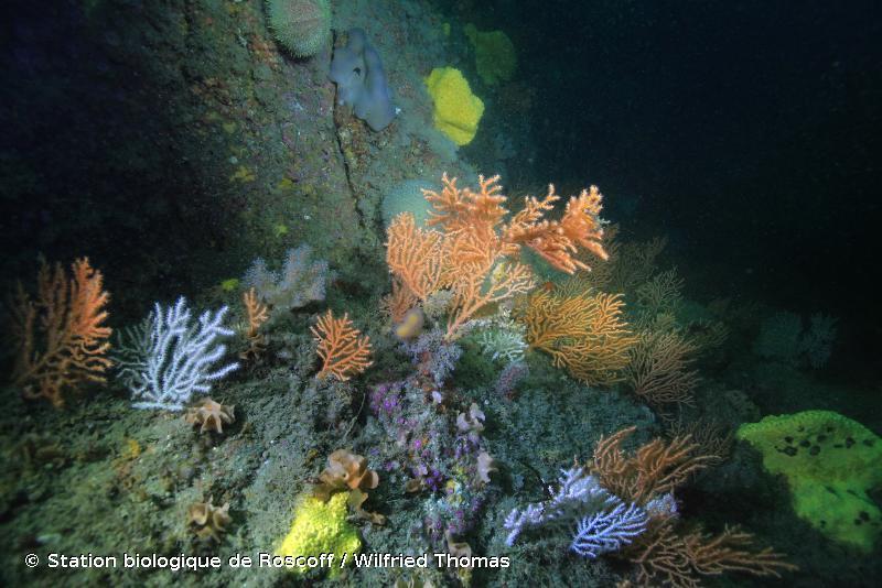 A4.1311 - <em>Eunicella verrucosa</em> et <em>Pentapora fascialis</em> sur roche circalittorale exposée aux vagues - EUNIS
