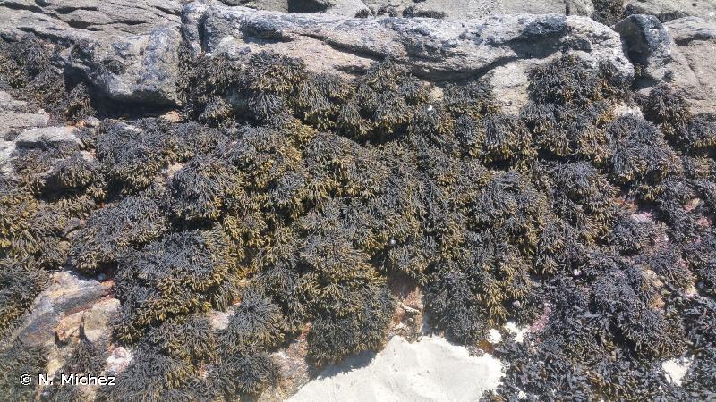 A1.311 - <em>Pelvetia canaliculata</em> sur roche abritée de la frange littorale - EUNIS
