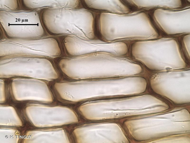 Encalypta rhaptocarpa