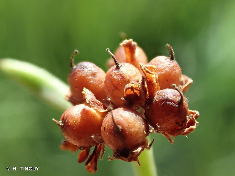 Lotus jordanii