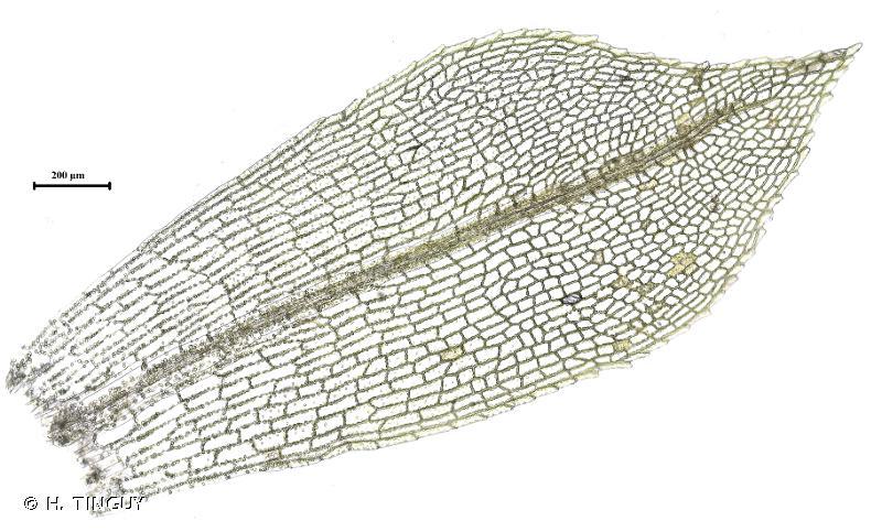 Physcomitrella patens
