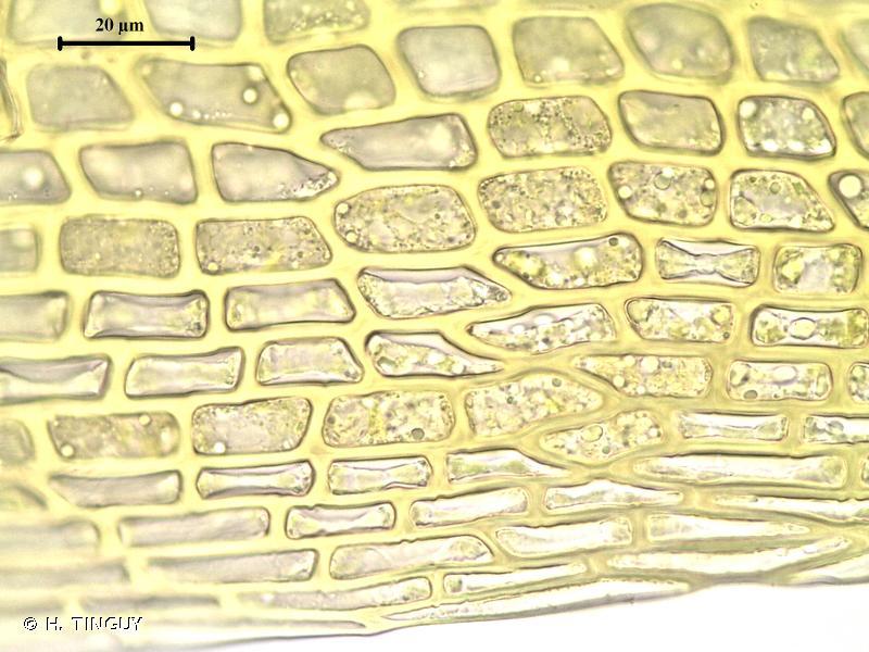 Campylopus pyriformis