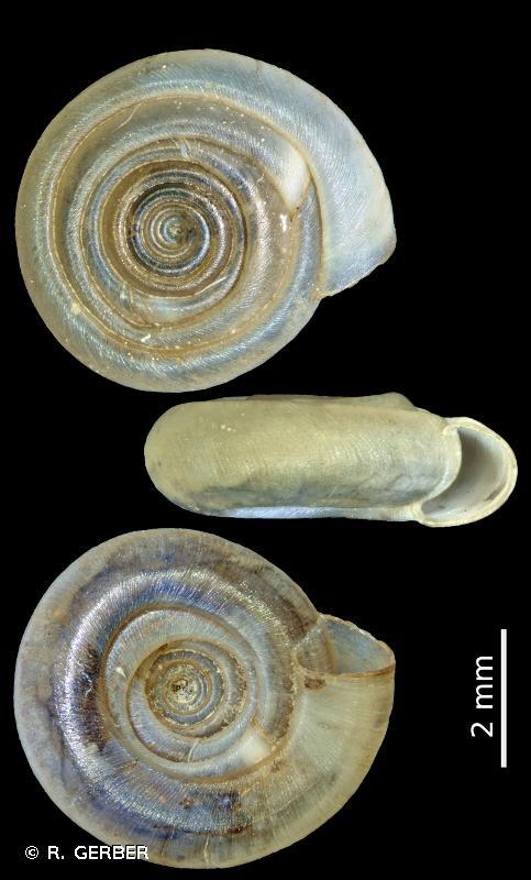 Bathyomphalus contortus
