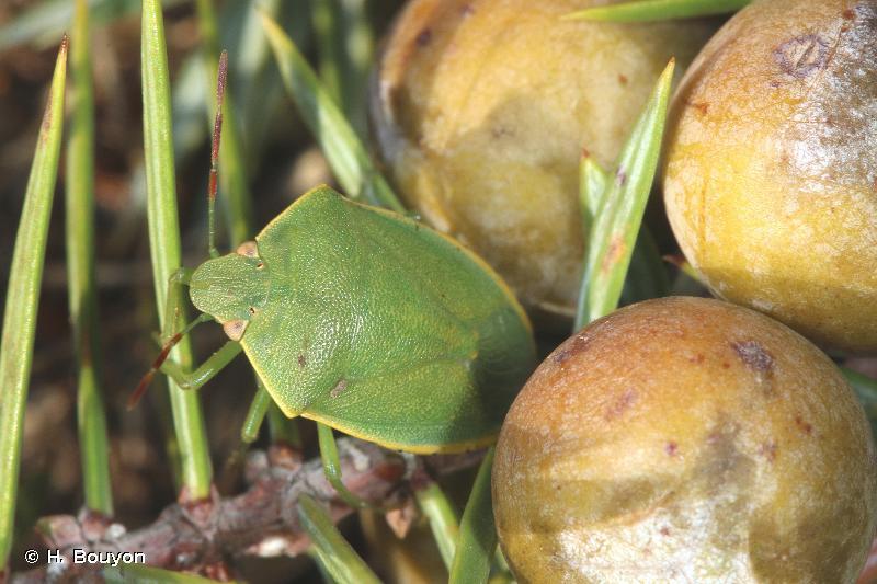 Acrosternum heegeri