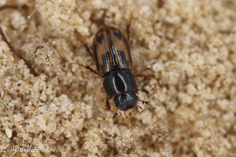 Chilothorax distinctus