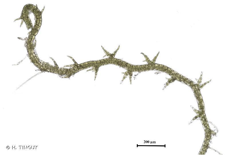 Cephaloziella elachista