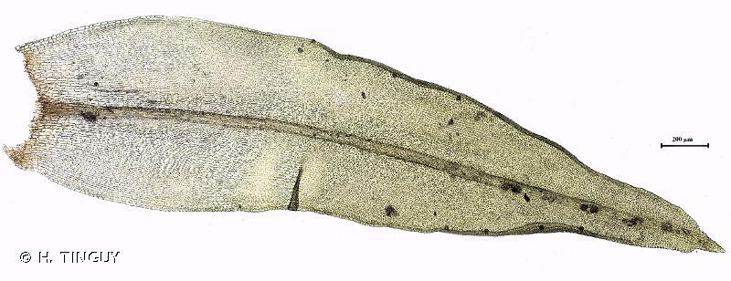 Lewinskya affinis