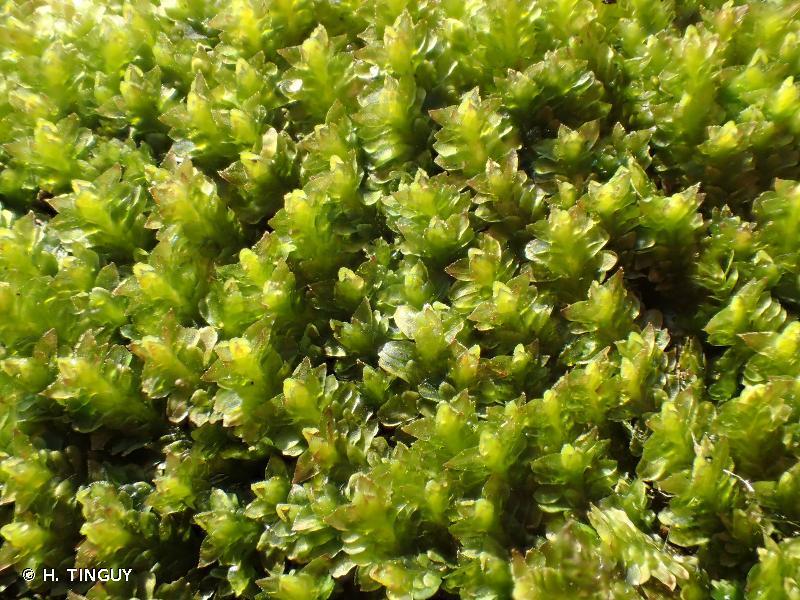 Diplophyllum albicans