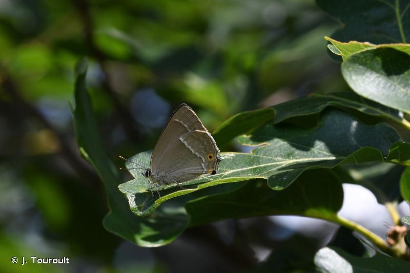 Quercusia quercus