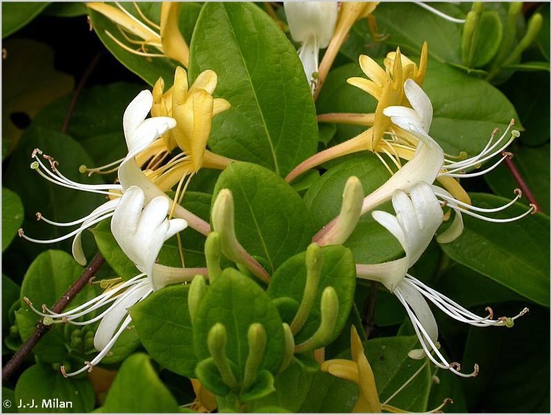 Lonicera japonica