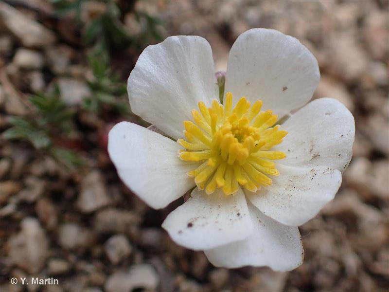 Ranunculus seguieri