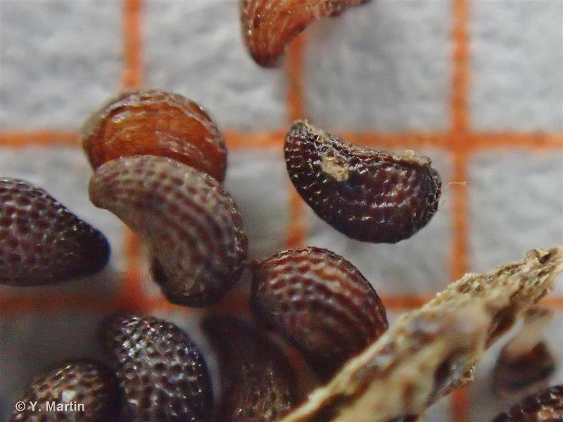 Papaver cambricum