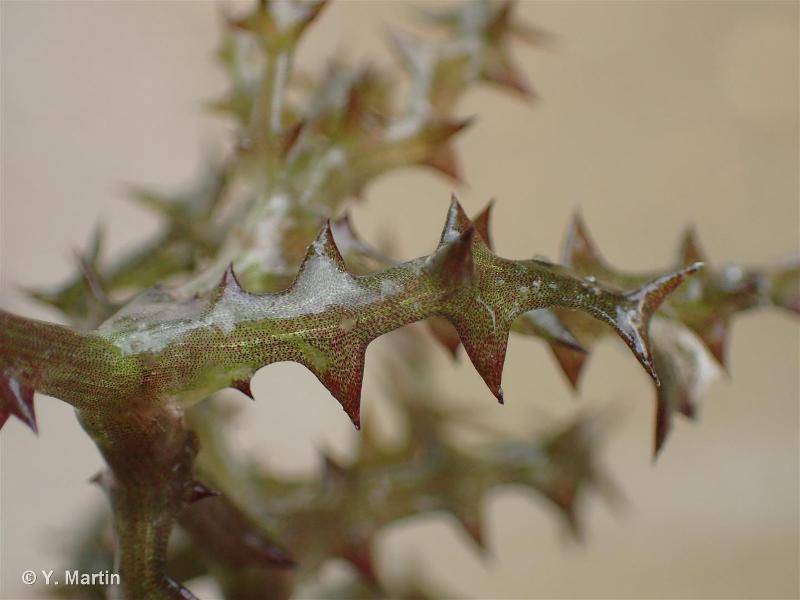 Najas marina subsp. marina