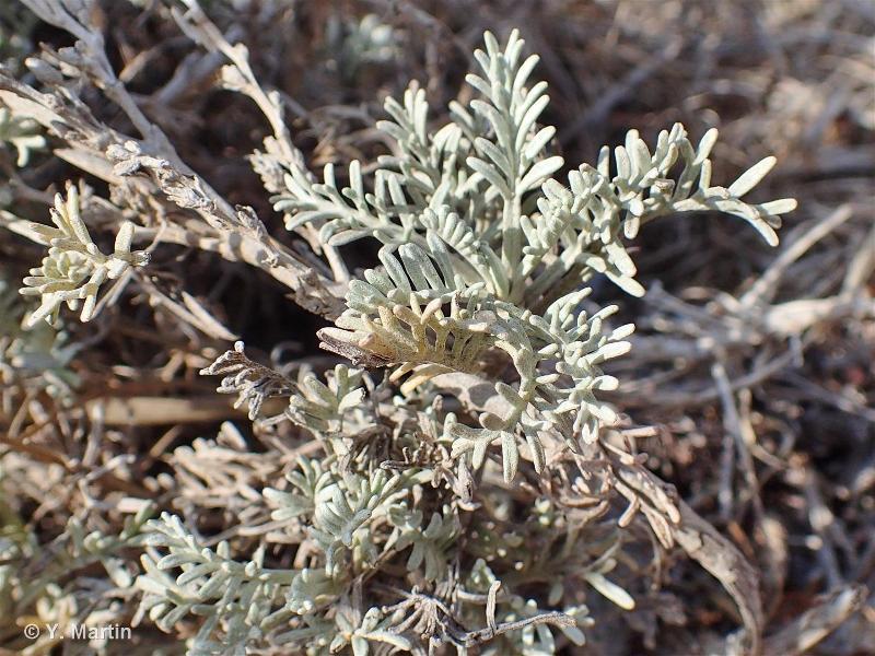 Artemisia caerulescens subsp. densiflora