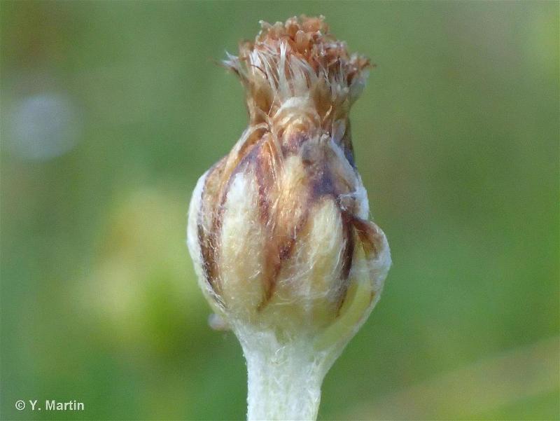 Omalotheca supina