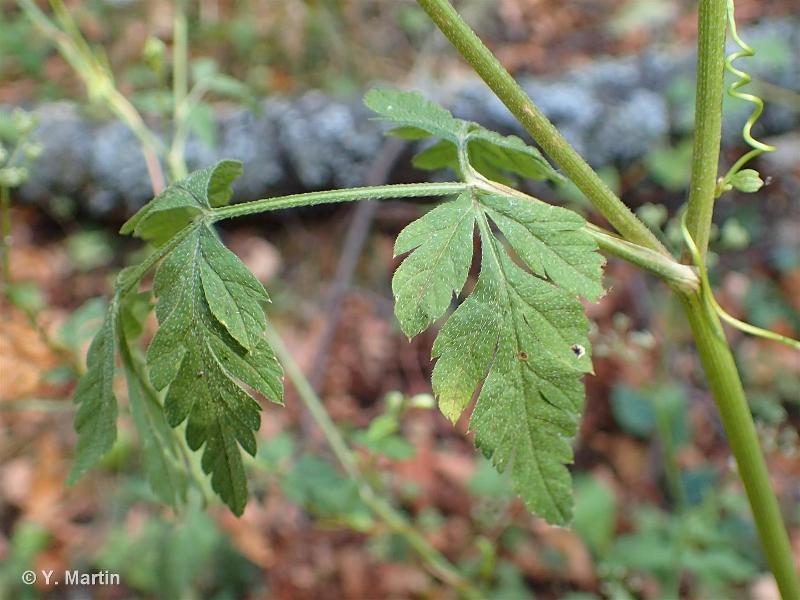 Torilis japonica