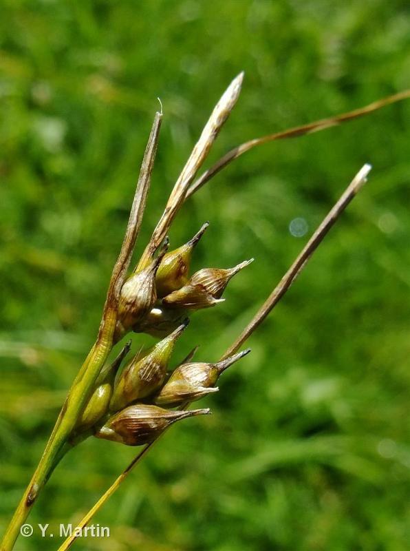 Carex depauperata
