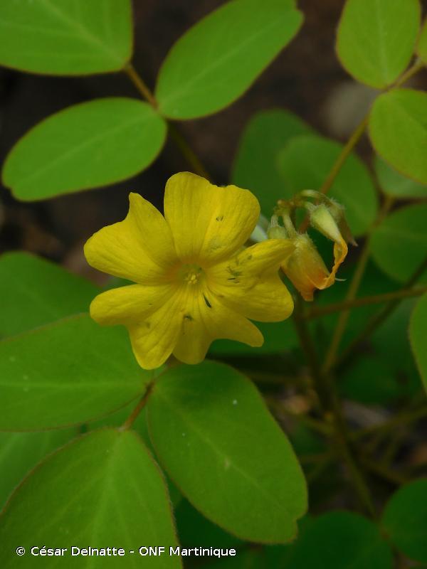 Oxalis frutescens